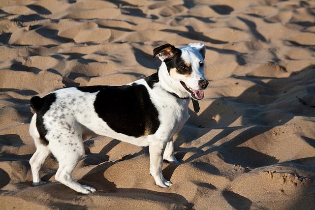 Joss Bay Beach Dog