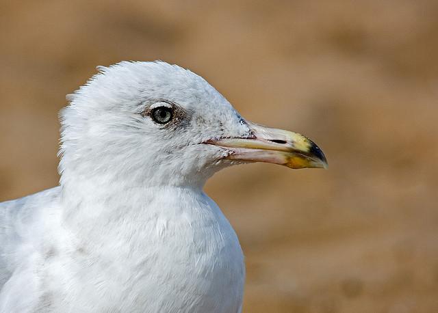 Seagull at Joss Bay