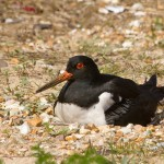 Oystercatcher on eggs