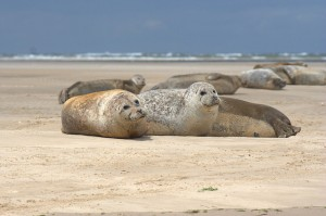 Blakeney Point Common Seals