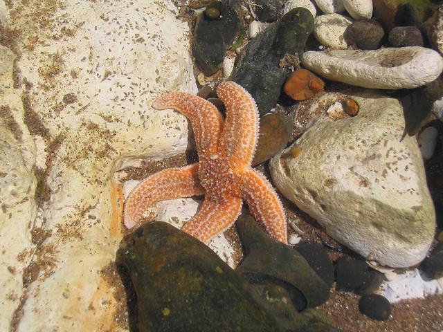 Starfish at Joss Bay beach