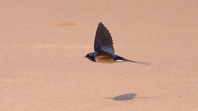 Swallow at Joss Bay