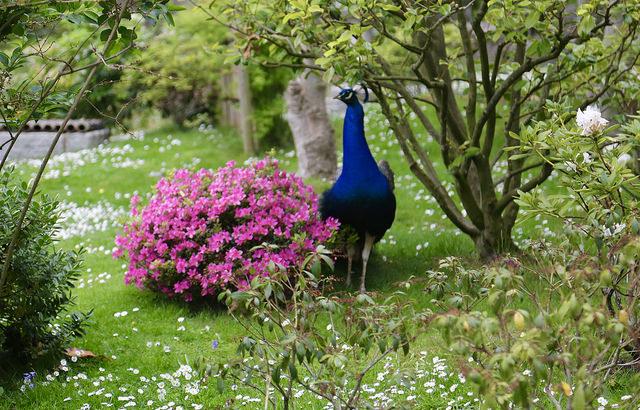 peacock in kensington memorial park
