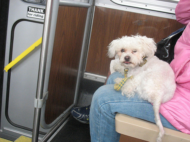 Dog in Bus Sitting on lap