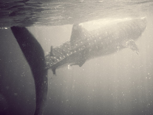 Cancun Whale Shark Snorkeling
